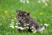 Katteustyr