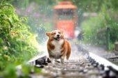 Pelspleie Hund